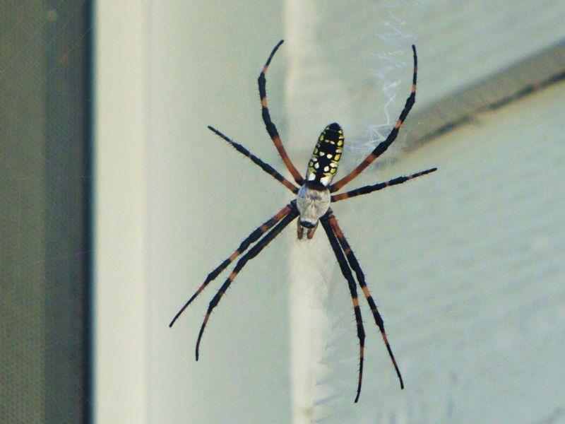 Spider 033
