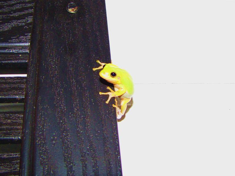 Tree frog 026